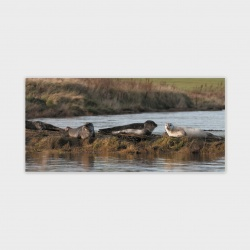 Stenness Seals, Orkney Greetings Card - DL