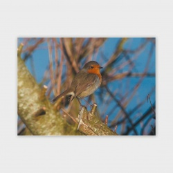 Orkney Robin Greetings Card - A6