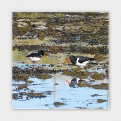 Oyster Catchers, Orkney Greetings Card - 140mm Square