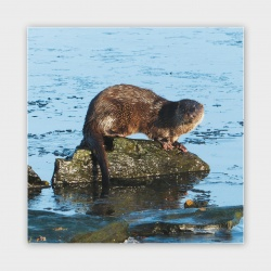 Stenness Otter, Orkney Greetings Card - 140mm Square