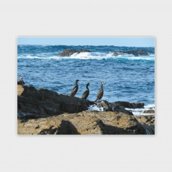 Shags, Orkney Greetings Card - A6