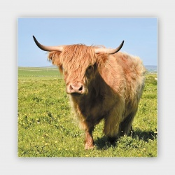 Highland Coo, Orkney II Greetings Card - 140mm Square