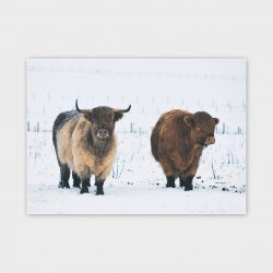 Highland Coo, Orkney Greetings Card - A6